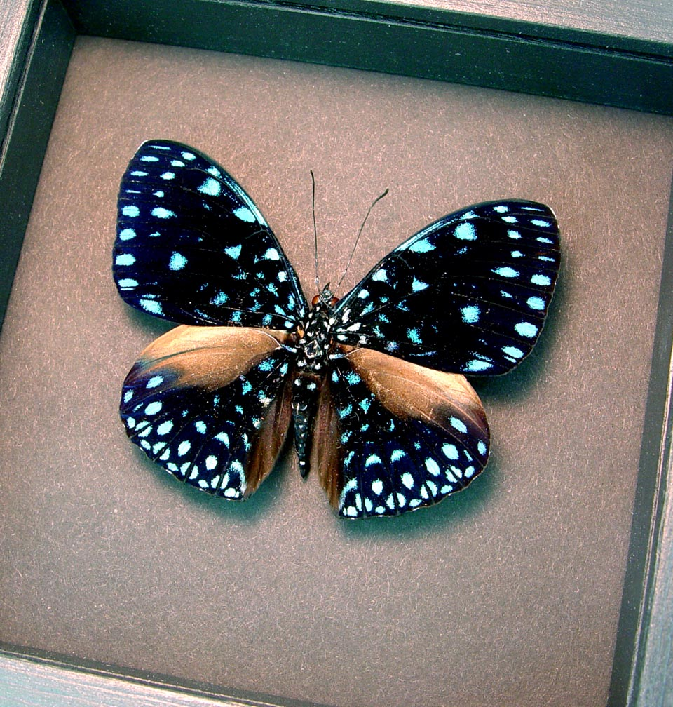Hamadryas laodamia Starry Night Framed Butterfly moonlight display ooak