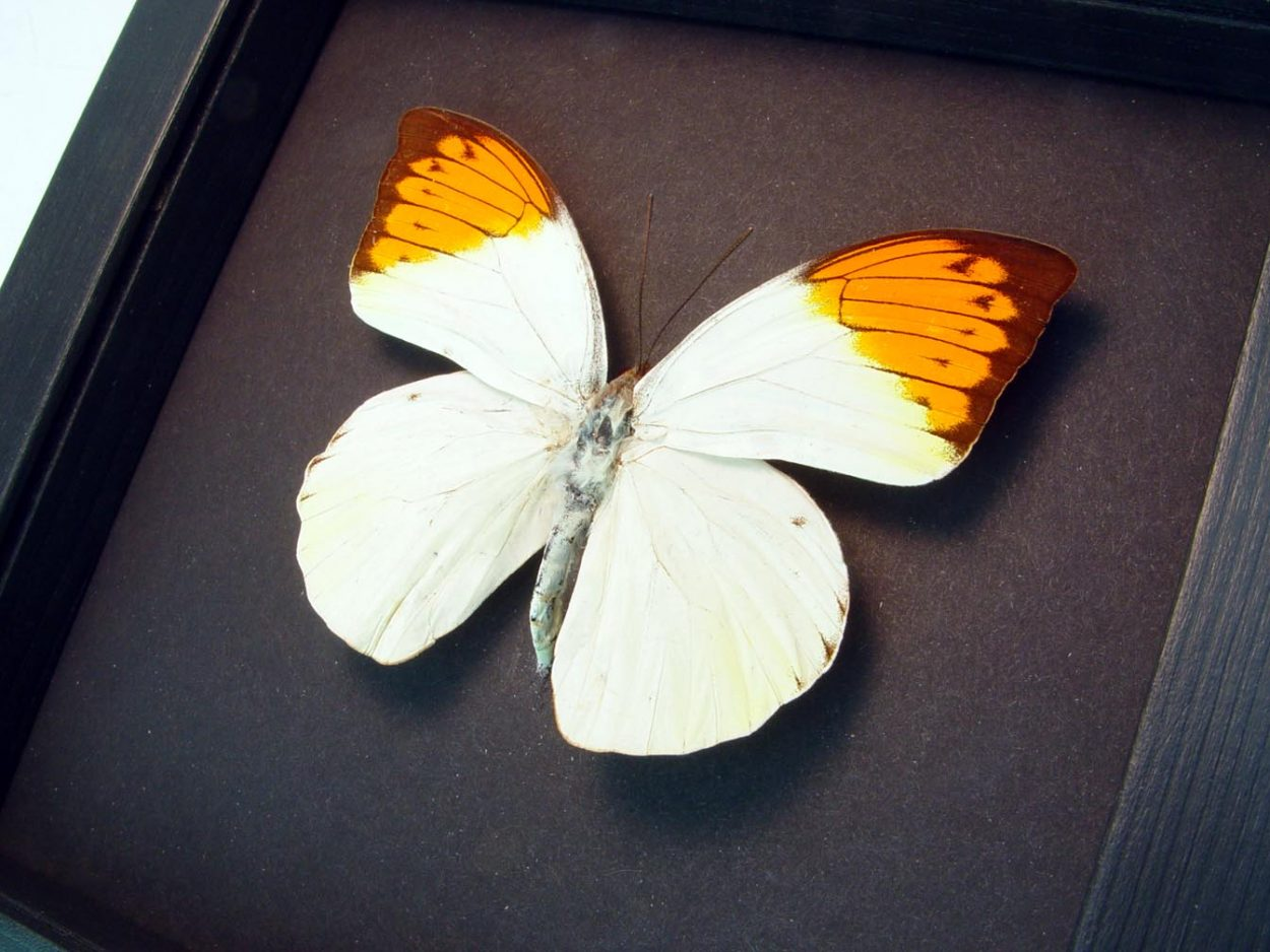 Hebomoia glaucippe Great Orange Tip Framed Butterfly Moonlight Display ooak