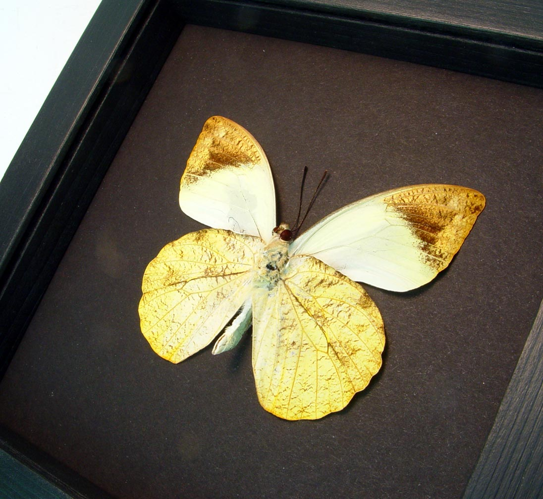 Hebomoia glaucippe Verso Great Orange Tip Framed Butterfly Moonlight Display ooak