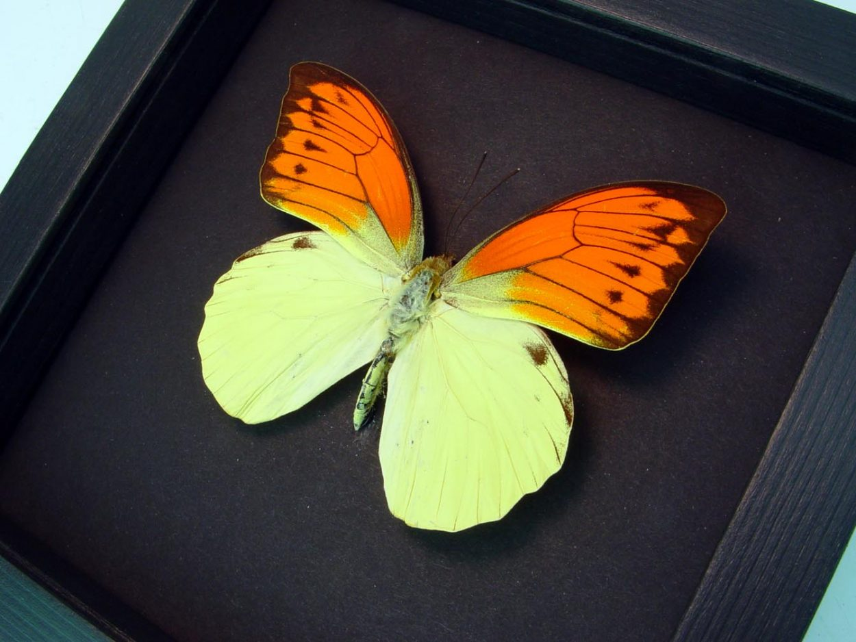 Hebomoia leucippe Vibrant Sulpher Framed Butterfly Moonlight Display ooak