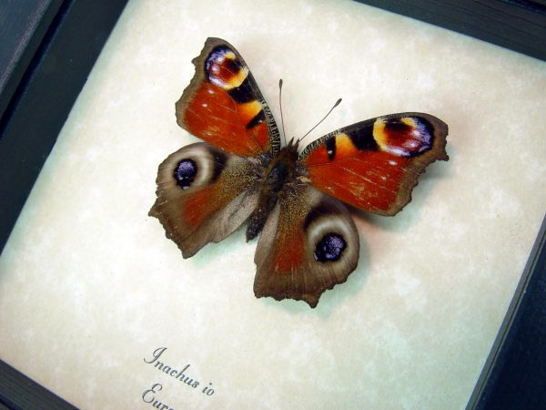 Real Framed Butterfly Inachus io European Peacock ooak