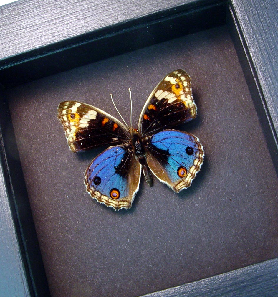 Junonia orithya Blue Pansy Framed Butterfly Display Moonlight Display ooak
