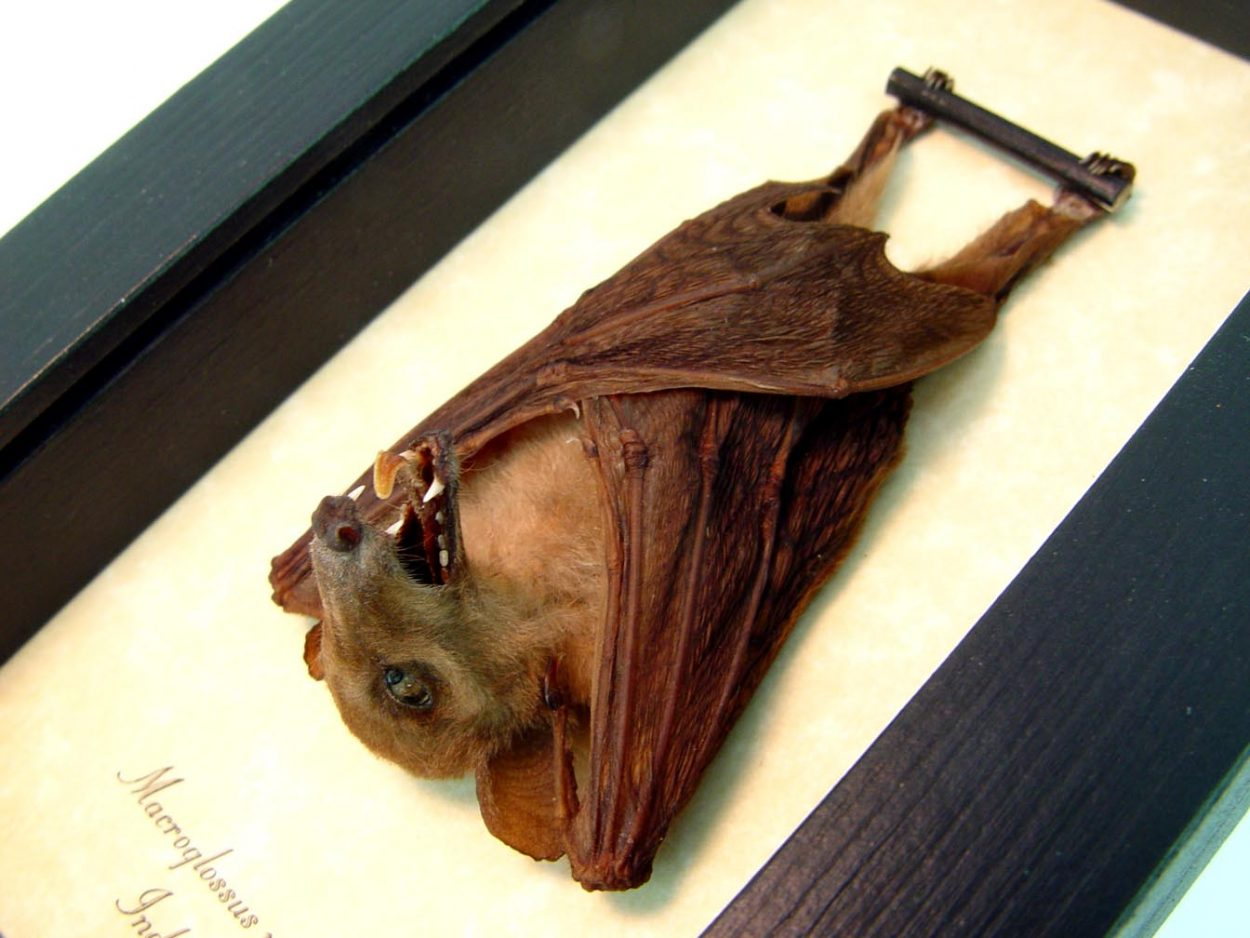 Macroglossus minimus Fruit Bat Framed Bat Display