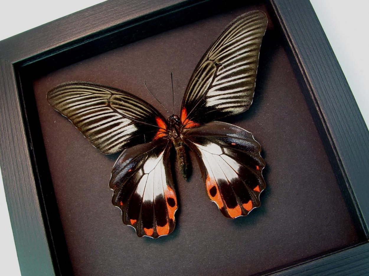 Papilio rumanzovia female Scarlet Mormon Butterfly Moonlight Display