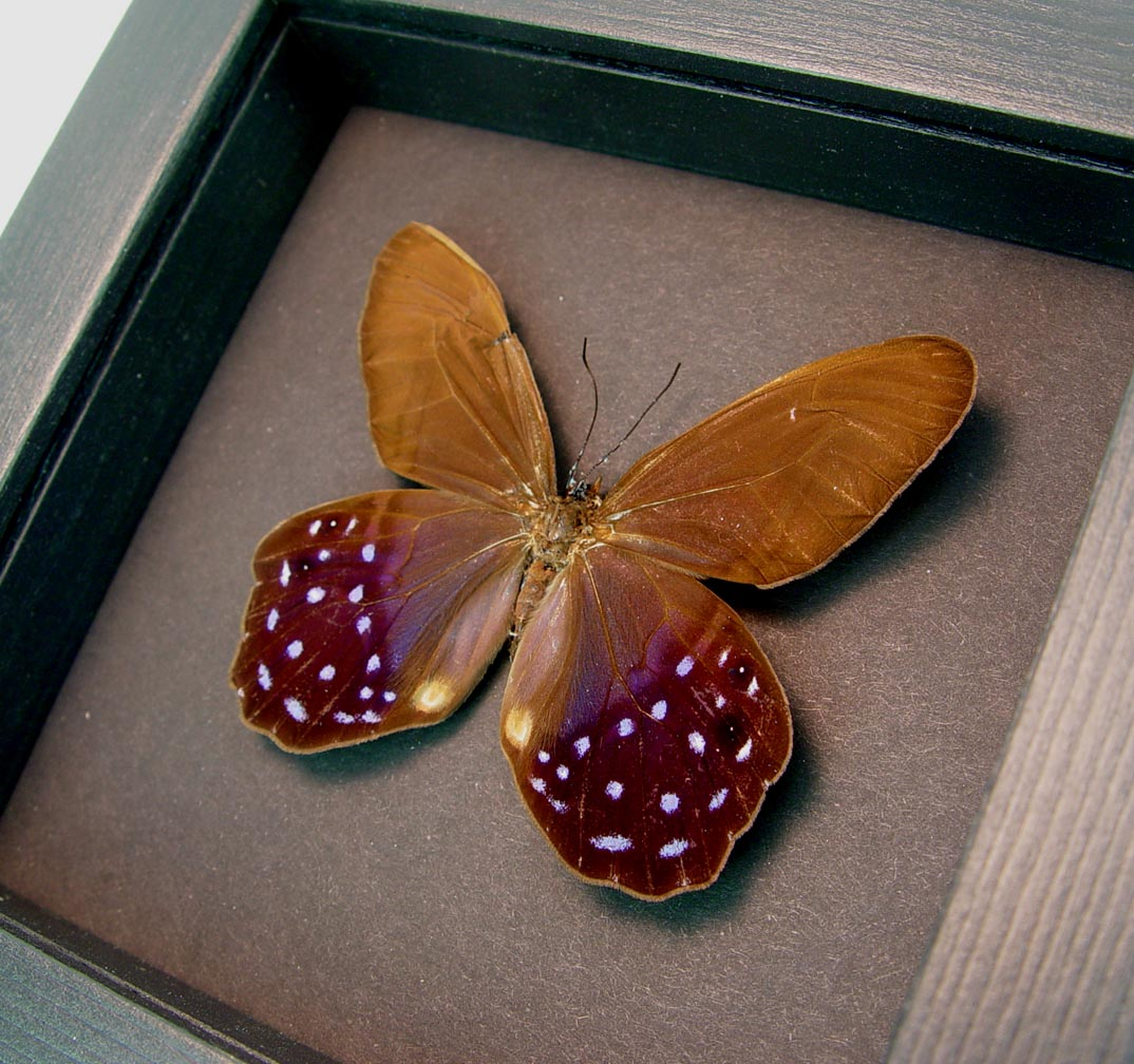 Pierella lena Purple Satyrinae Butterfly Moonlight Display ooak