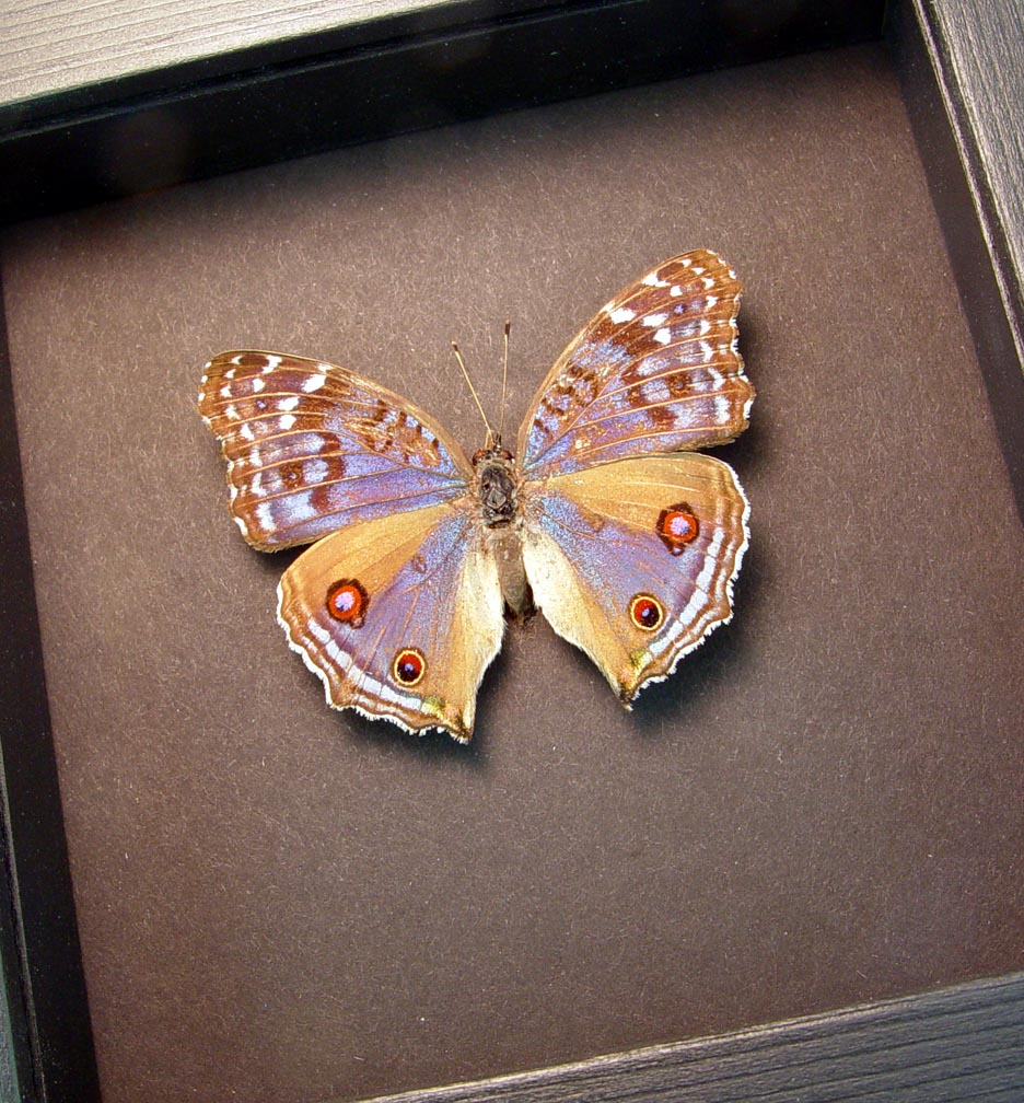 Precis rhadama female Royal Blue Pansy Butterfly Moonlight Display ooak