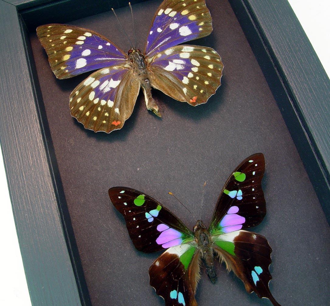 Purple Butterfly Set Graphium Weiskei Framed Butterflies Moonlight Display