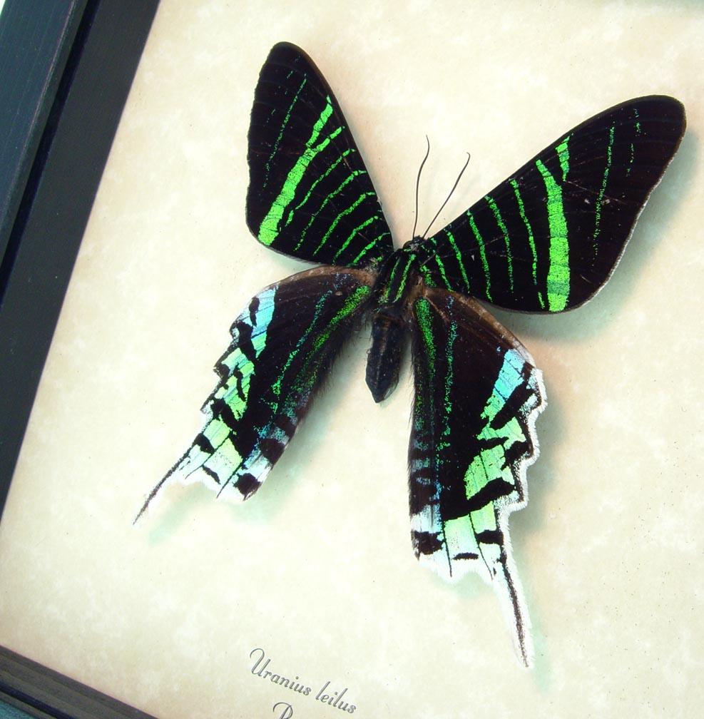 Urania Leilus Green Banded Urania Moth ooak