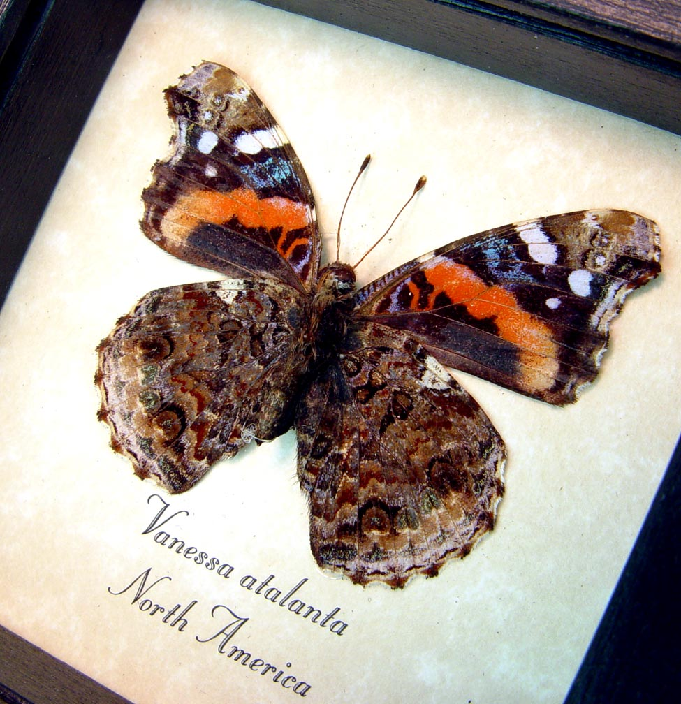 Vanessa atalanta Verso Red Admiral Butterfly ooak