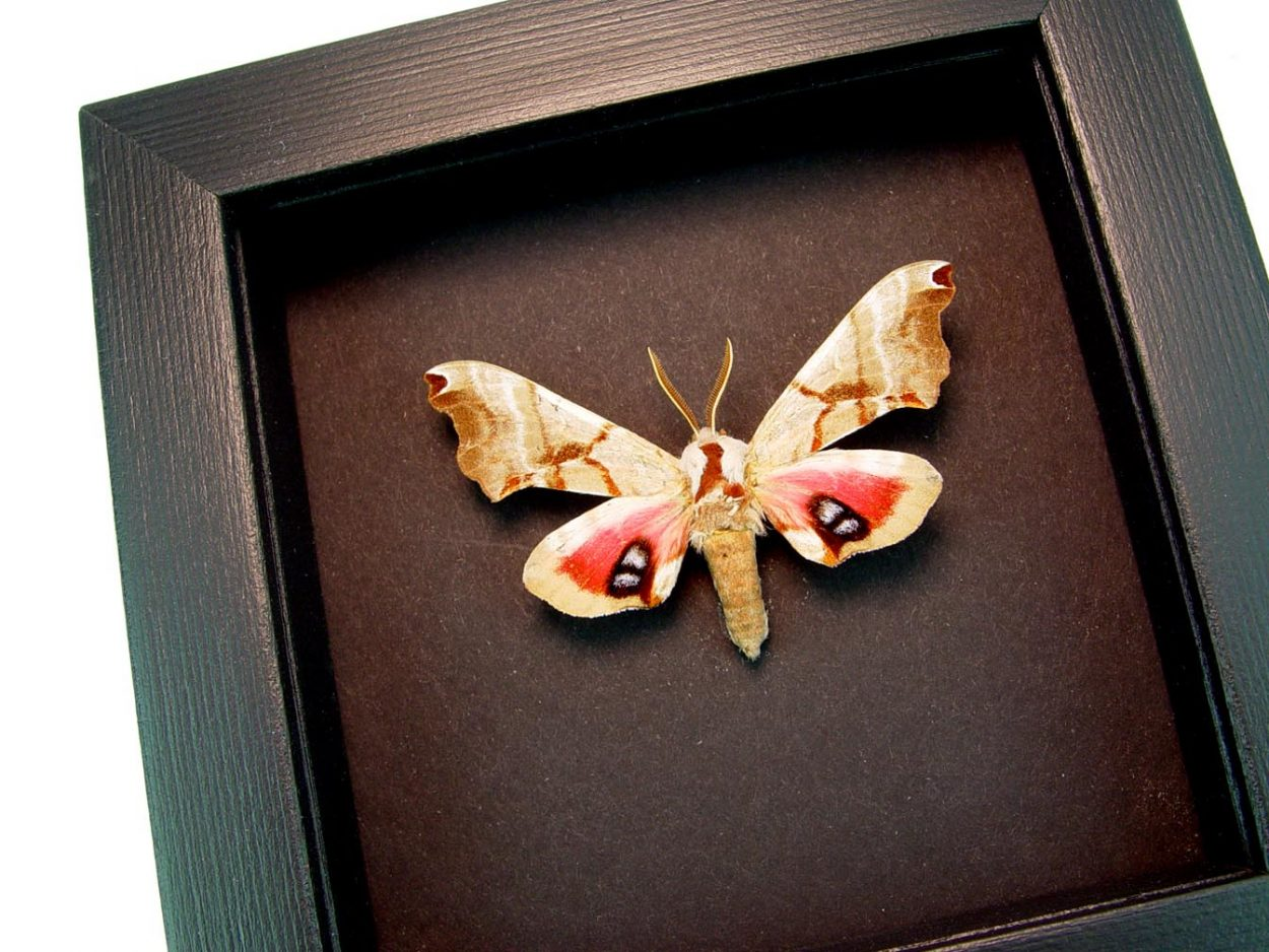 Smerinthus jamaicensis Female One-eyed Sphinx Moth Moonlight Display ooak