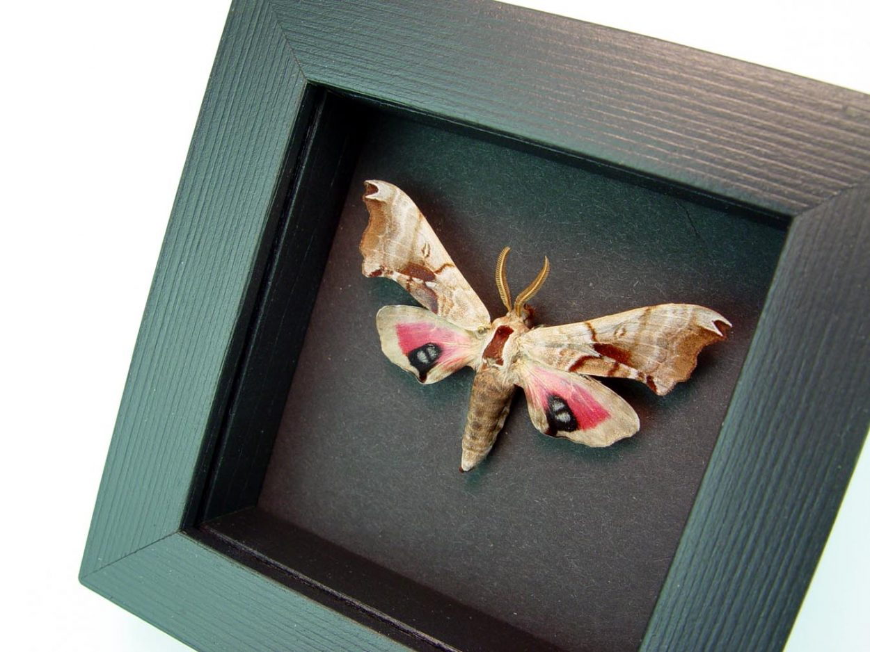 Smerinthus jamaicensis One-eyed Sphinx Moth Moonlight Display ooak