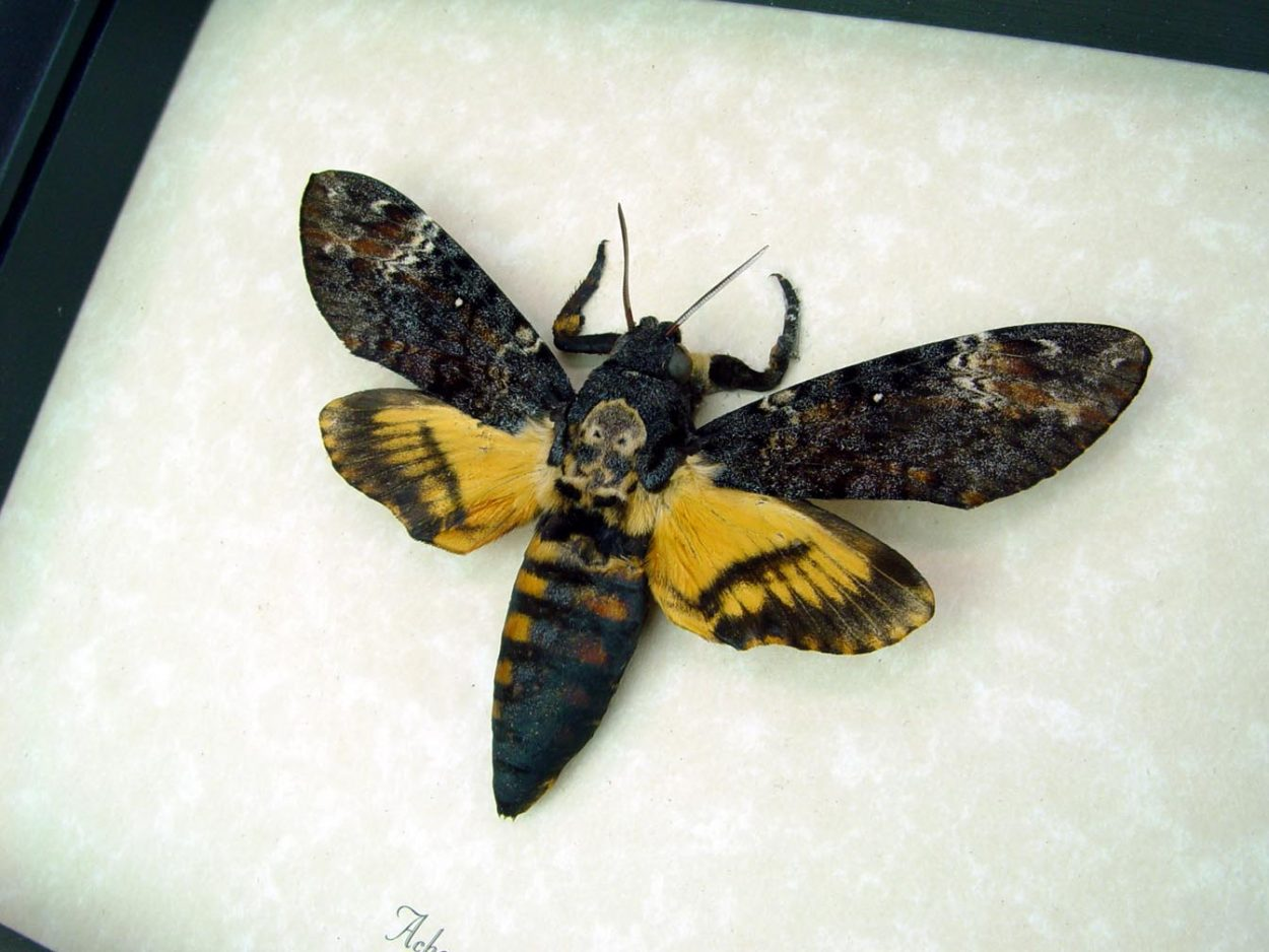 Creepy Death Head Moth Acherontia atropos male ooak