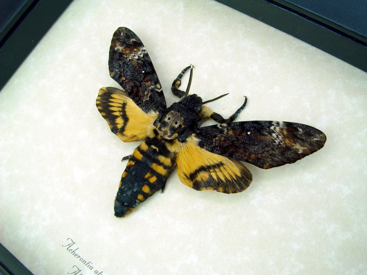 Acherontia atropos male Death Head Moth ooak