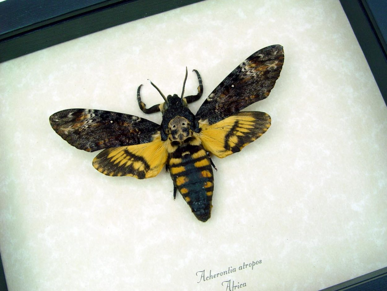Framed Death Head Moth Acherontia atropos male ooak