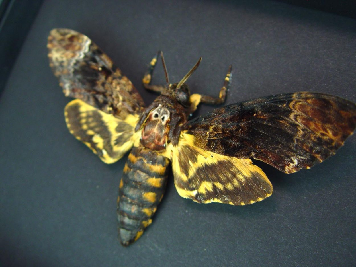 Death's Head Moth Acherontia lachesis Female Moonlight Display ooak