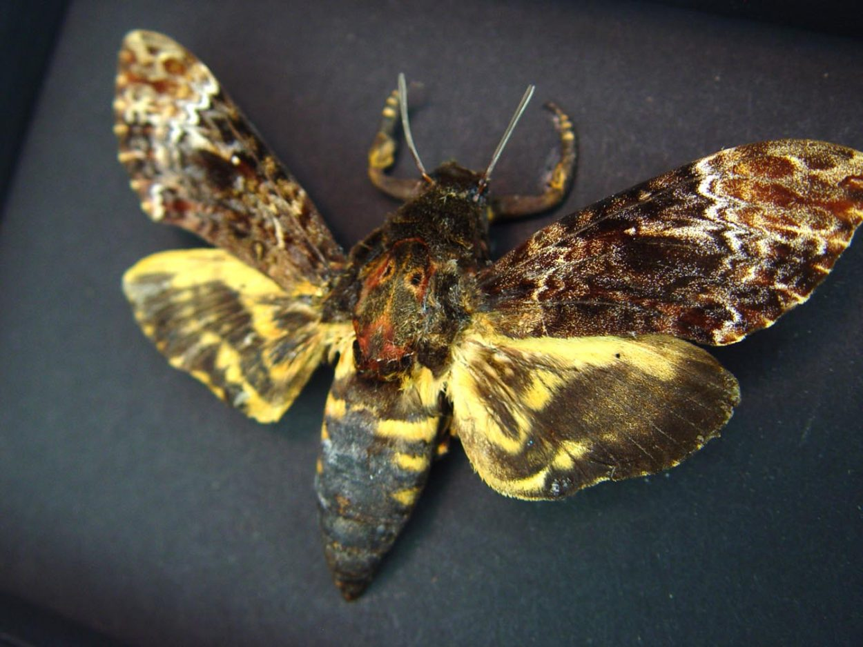 Death Head Moth Acherontia lachesis male Moonlight Display ooak