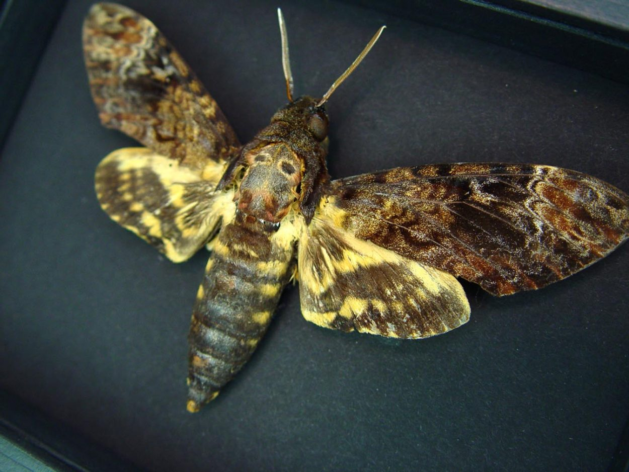 Death's Head Moth Acherontia lachesis male Moonlight Display ooak