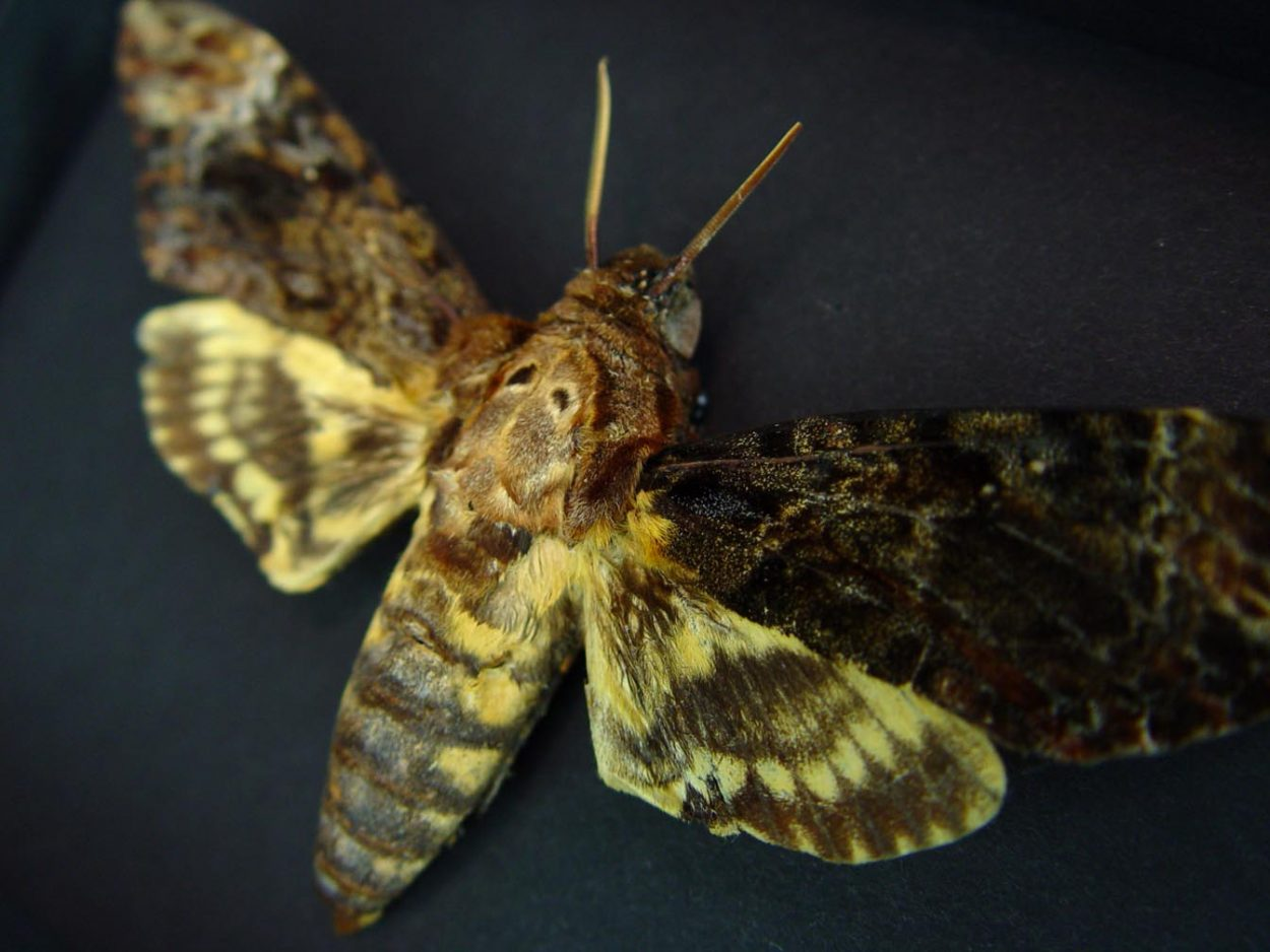 Creepy Death's Head Moth Acherontia lachesis male Moonlight Display ooak