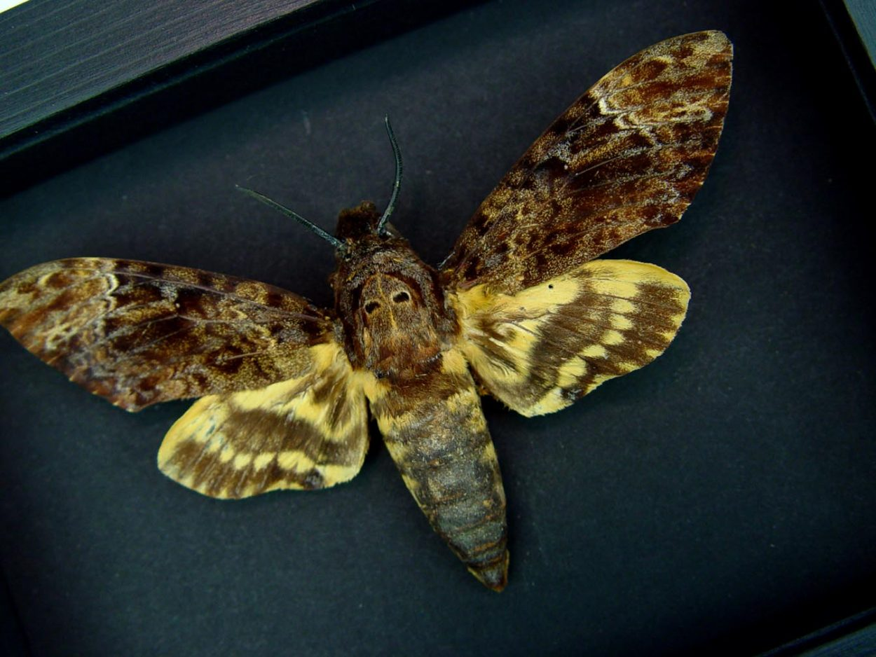 Creepy Death Head Moth Acherontia lachesis male Moonlight Display ooak