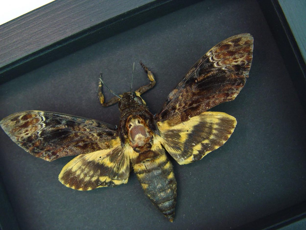 Real Death Head Moth Acherontia lachesis male Moonlight Display ooak