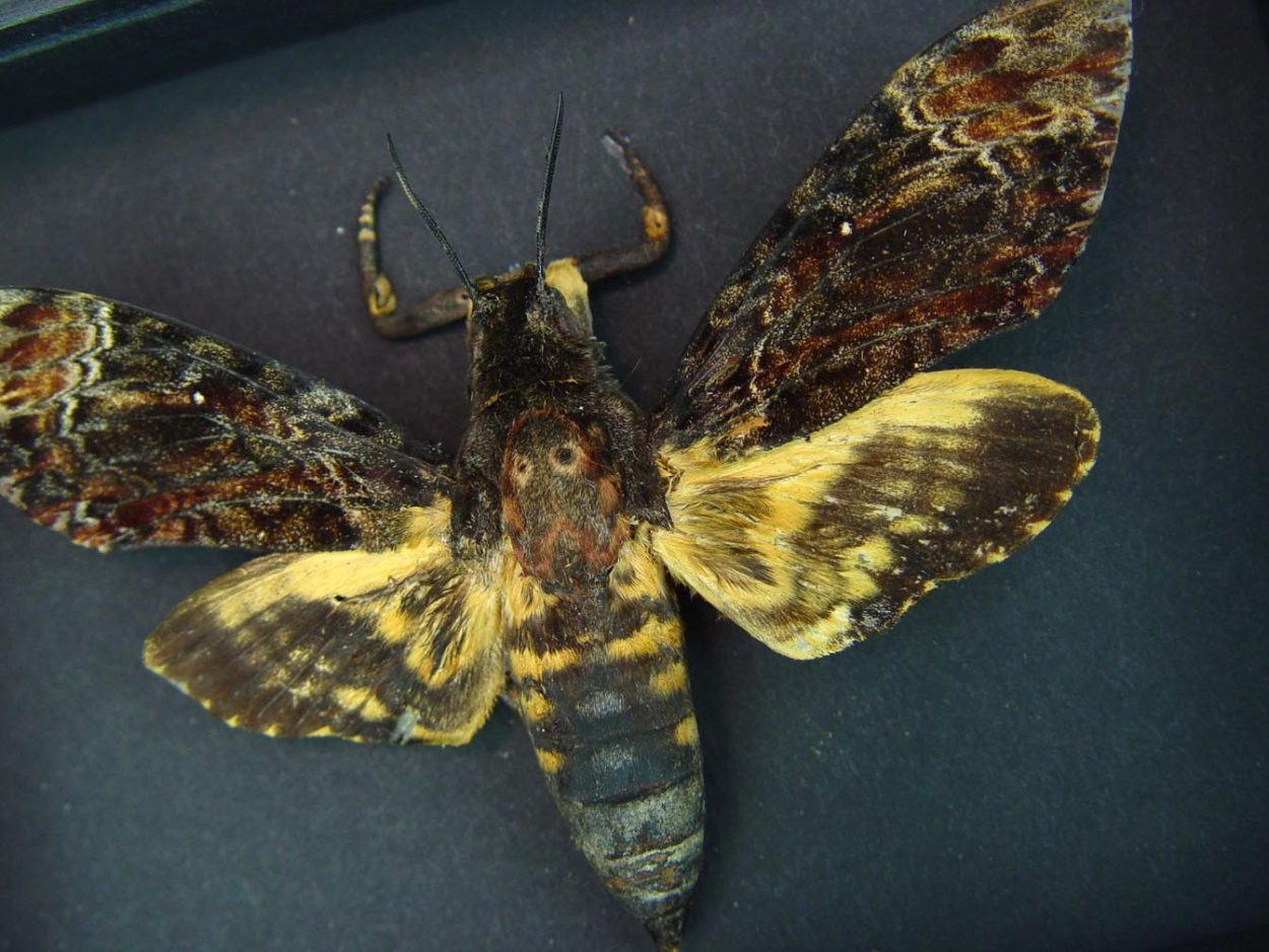 Real Death's Head Moth Acherontia lachesis male Moonlight Display ooak