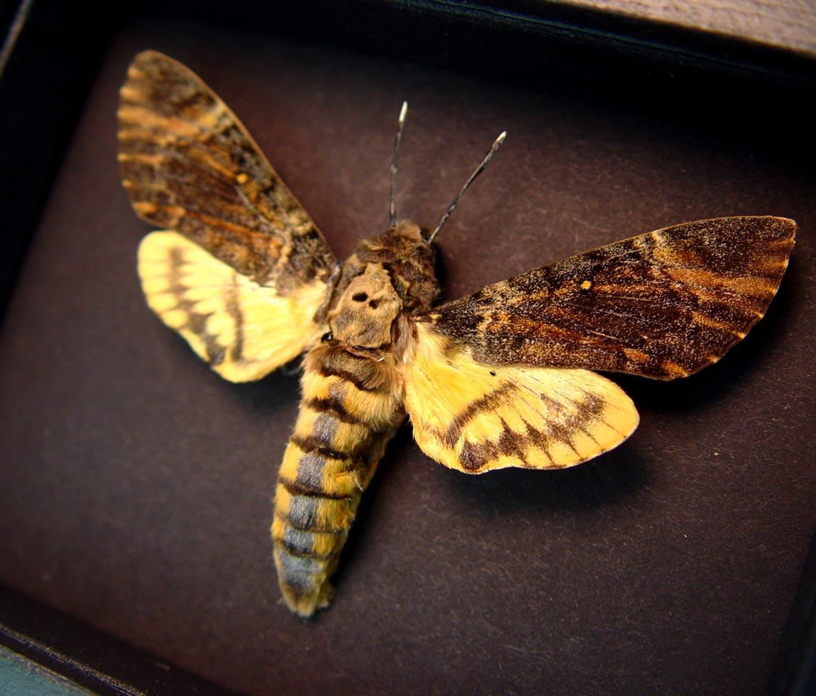 Creepy Death's Head Moth Acherontia styx Female Moonlight Display ooak