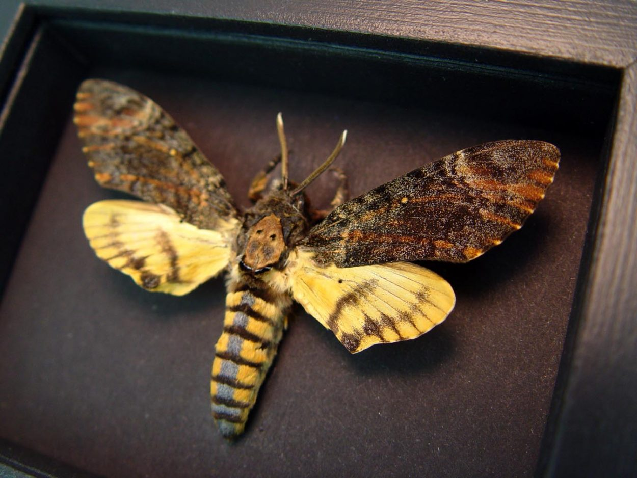 Acherontia styx Male Death's Head Moth Moonlight Display ooak
