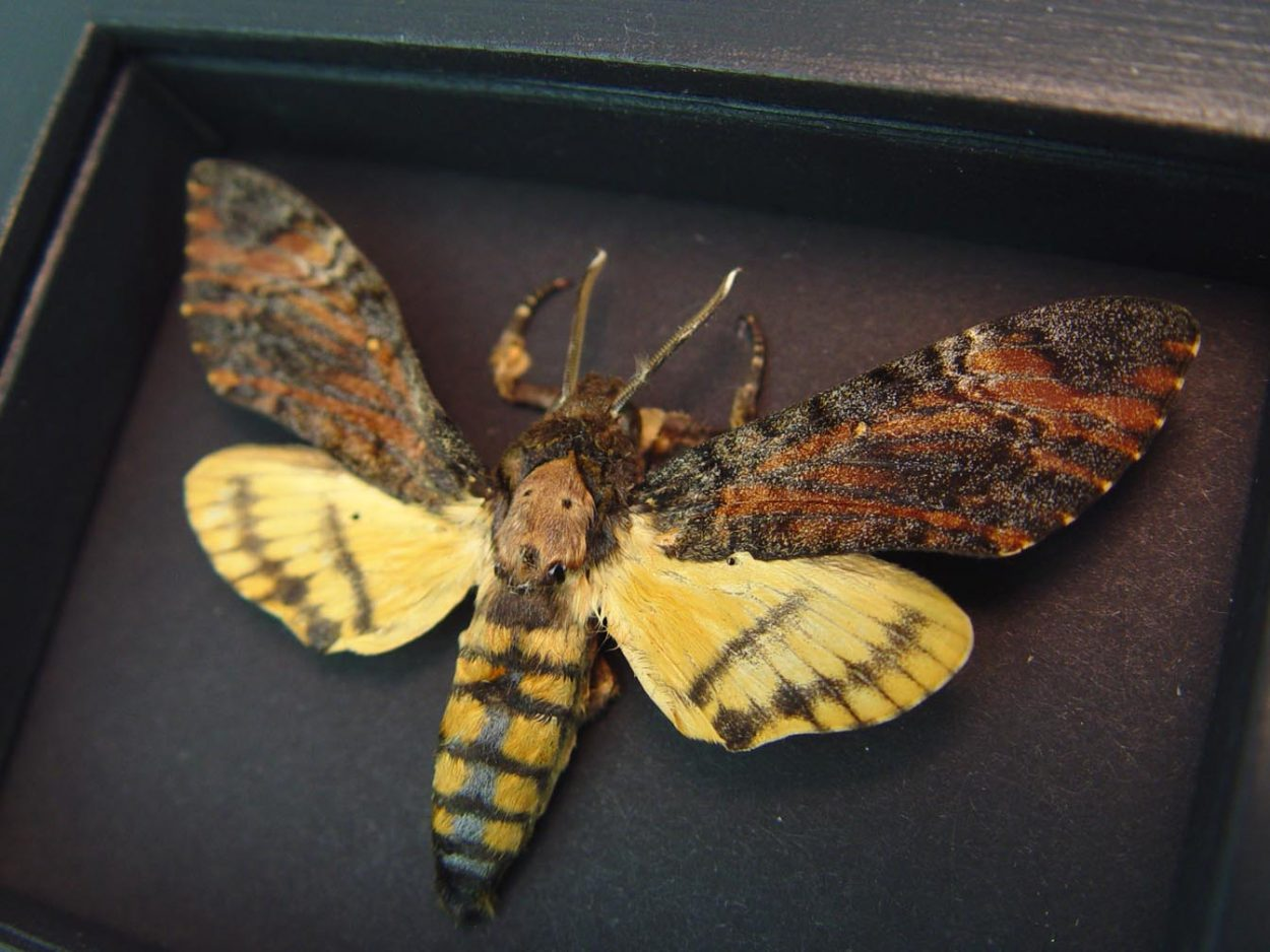 Death's Head Moth Acherontia styx Male Moonlight Display ooak