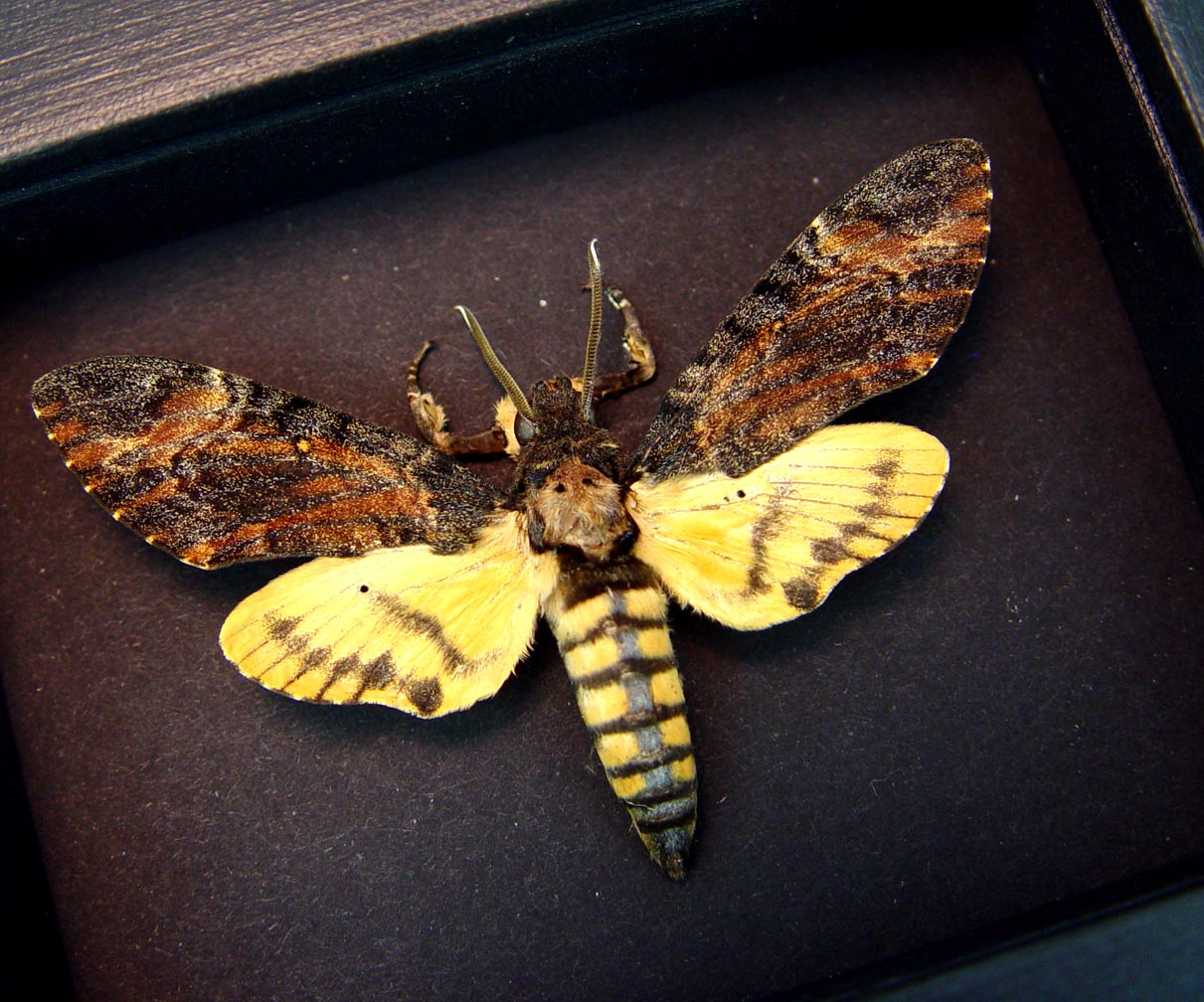 Acherontia styx Male Death Head Moth Moonlight Display ooak