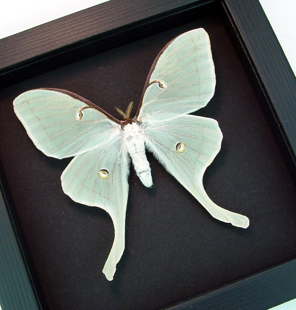Framed Luna Moth Actias luna Female Moonlight Display ooak