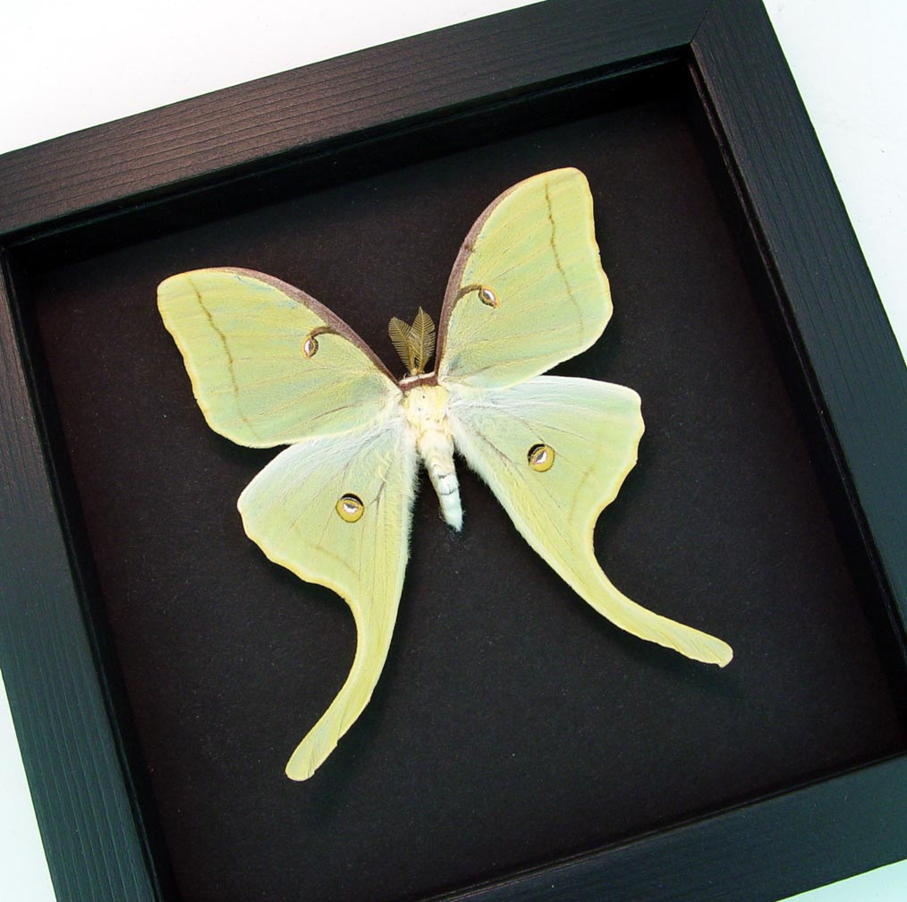 Actias luna Male Framed Luna Moth Moonlight Display ooak