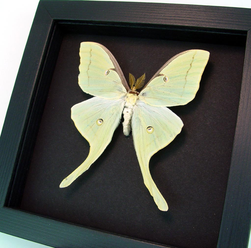 Framed Luna Moth Actias luna Male Moonlight Display ooak