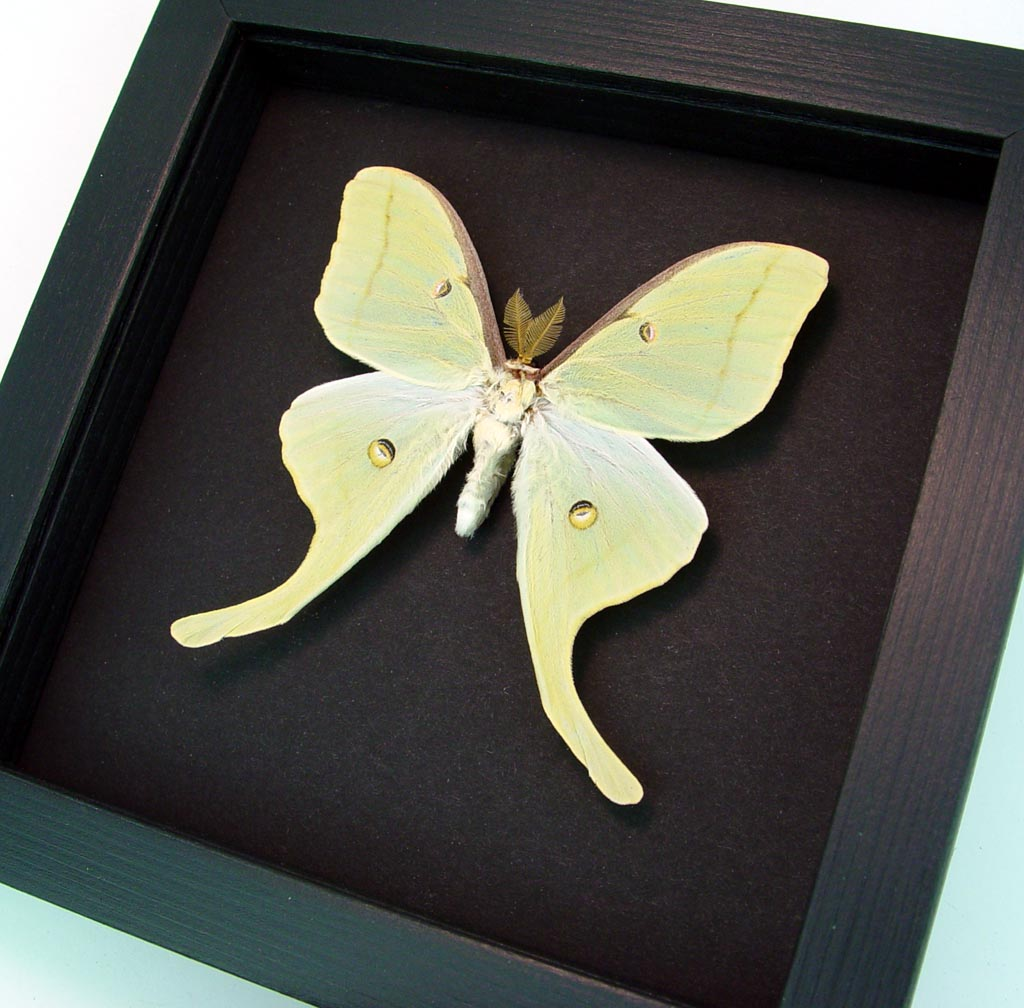 Actias luna Male Luna Moth Moonlight Display ooak
