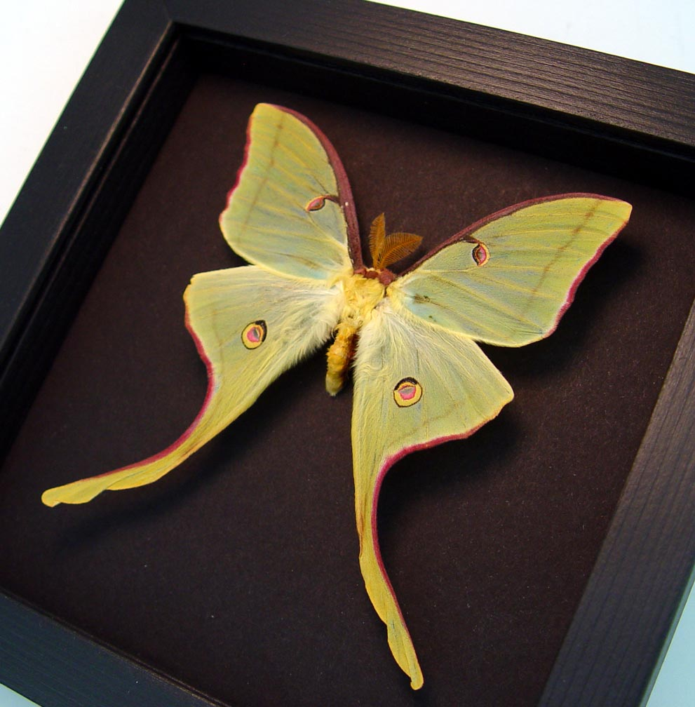 Actias luna rubromarginata Male Luna Moth Moonlight Display ooak
