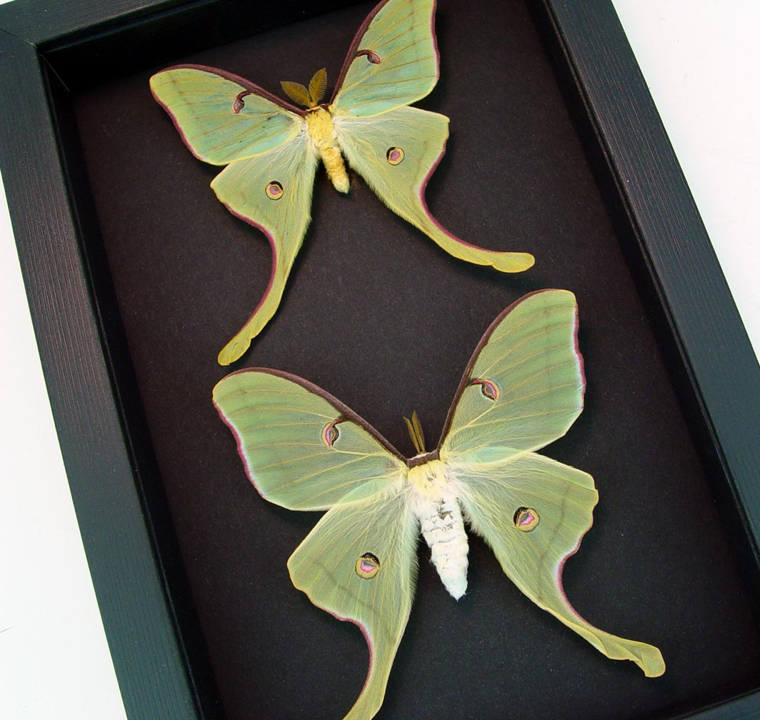 Framed Luna Moths Actias luna rubromarginata Pair Moonlight Display ooak