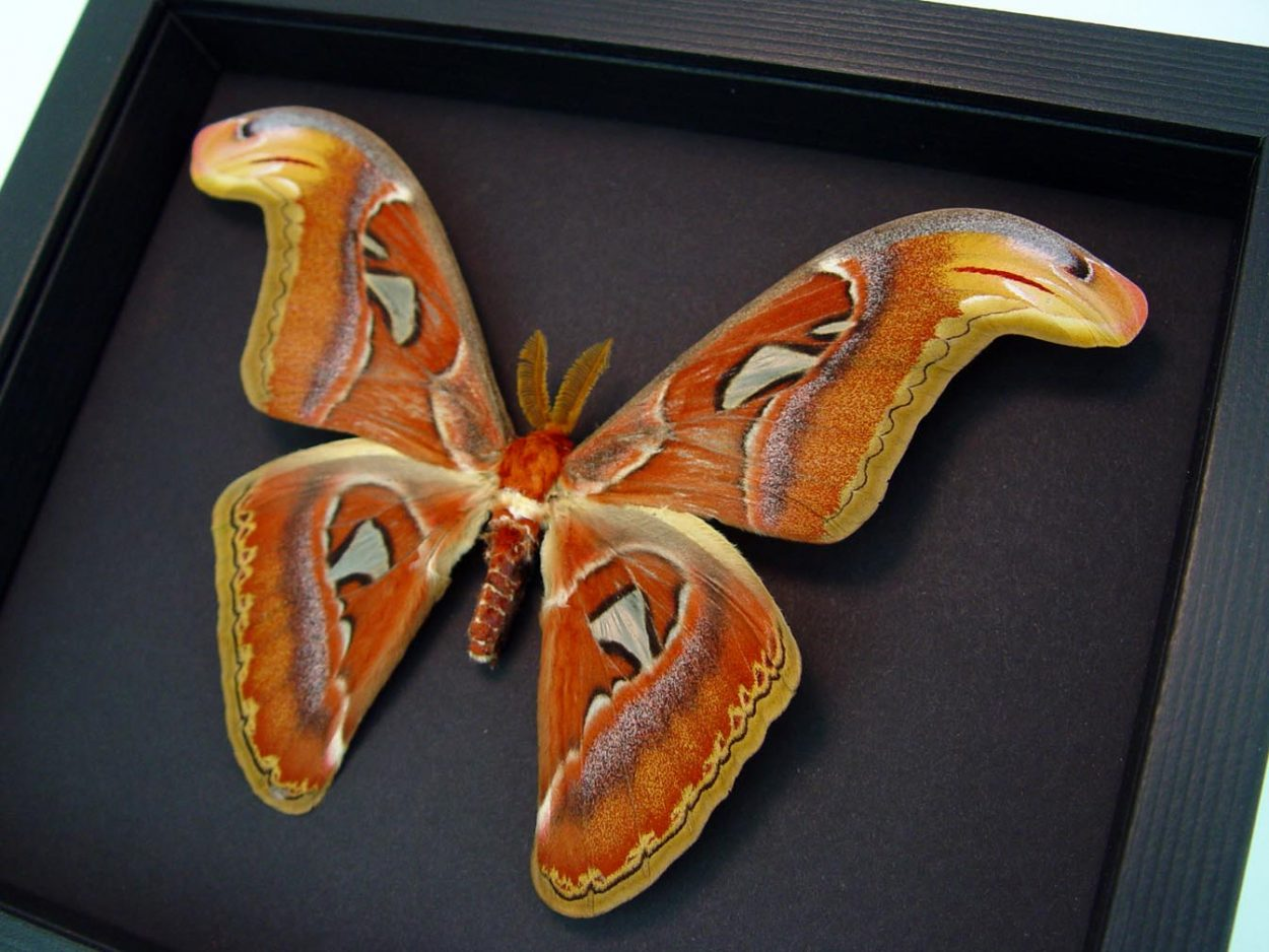 Attacus Atlas Male Snake Head moth Moonlight Display ooak