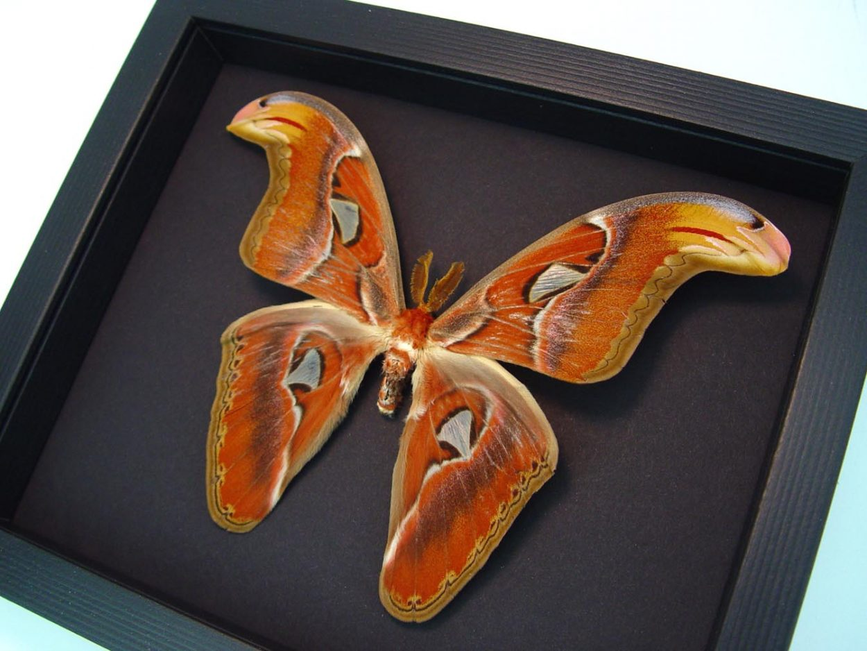 Attacus Atlas Male Moth Snake Head Moonlight Display ooak