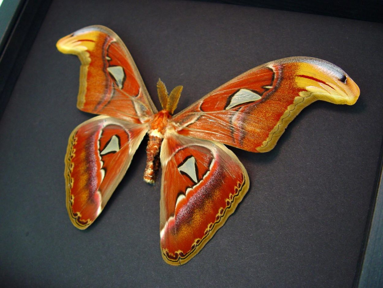 Atlas Moth Large Attacus Atlas Male Large Moonlight Display ooak