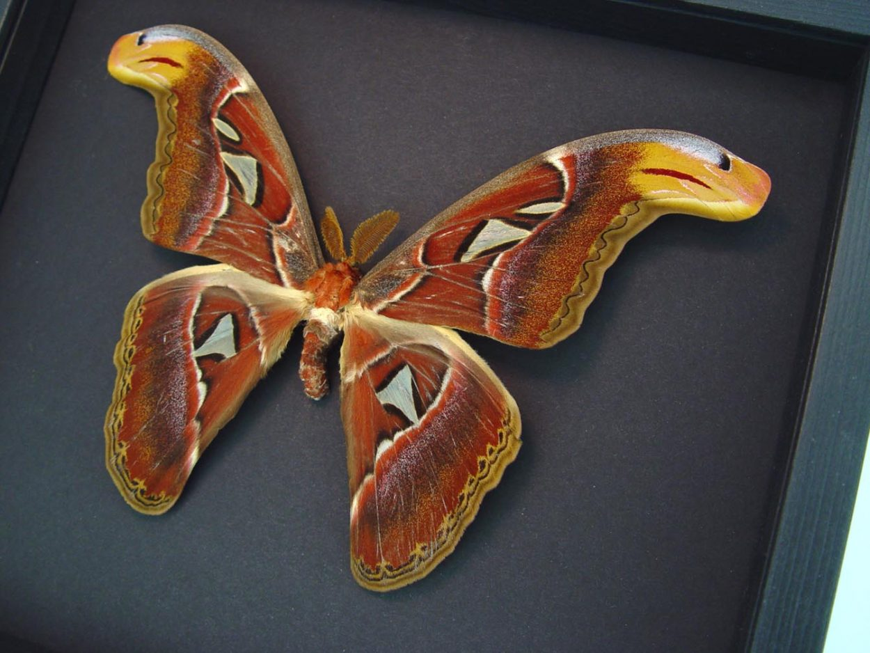 Snake Head Moth Attacus Atlas Male Large Moonlight Display ooak