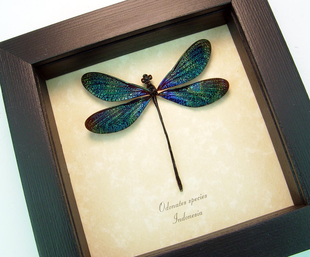 Framed Damselfly Aurora Borealis Multi Colored Damselfly ooak