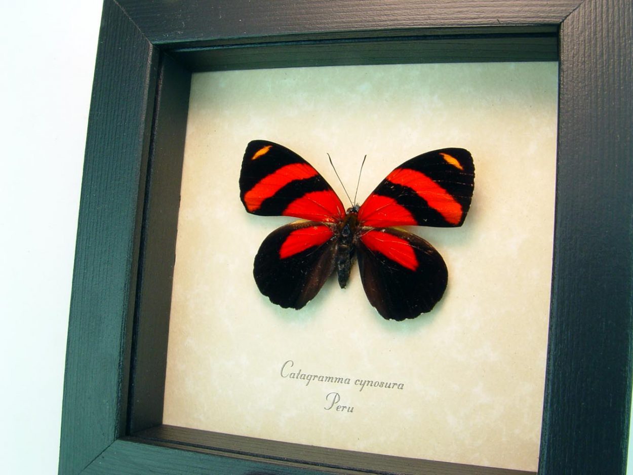 Framed Red Butterfly Catagramma cynosura ooak