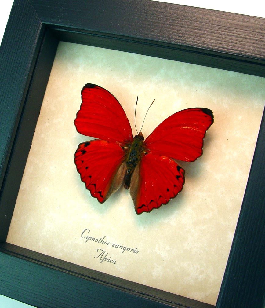 Cymothoe sangaris Red Glider Red Heart Butterfly ooak