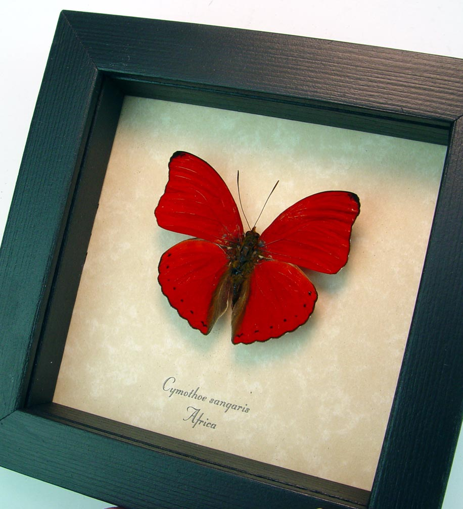 Framed Cymothoe sangaris Red Glider Red Heart Butterfly ooak