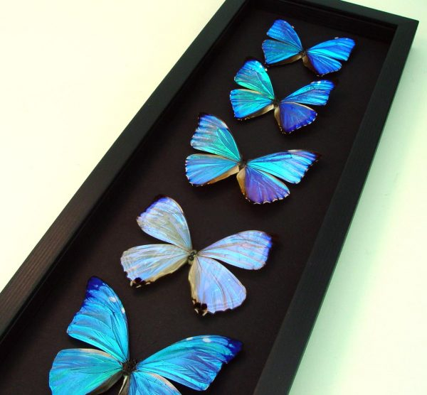 Diamond Morpho Butterfly Collection Moonlight Display