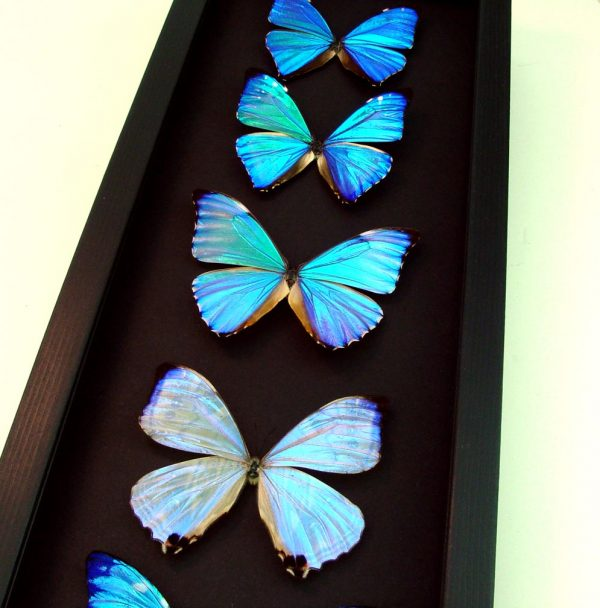 Diamond Morpho Butterfly Collection Mother's Day Butterflies Moonlight Display