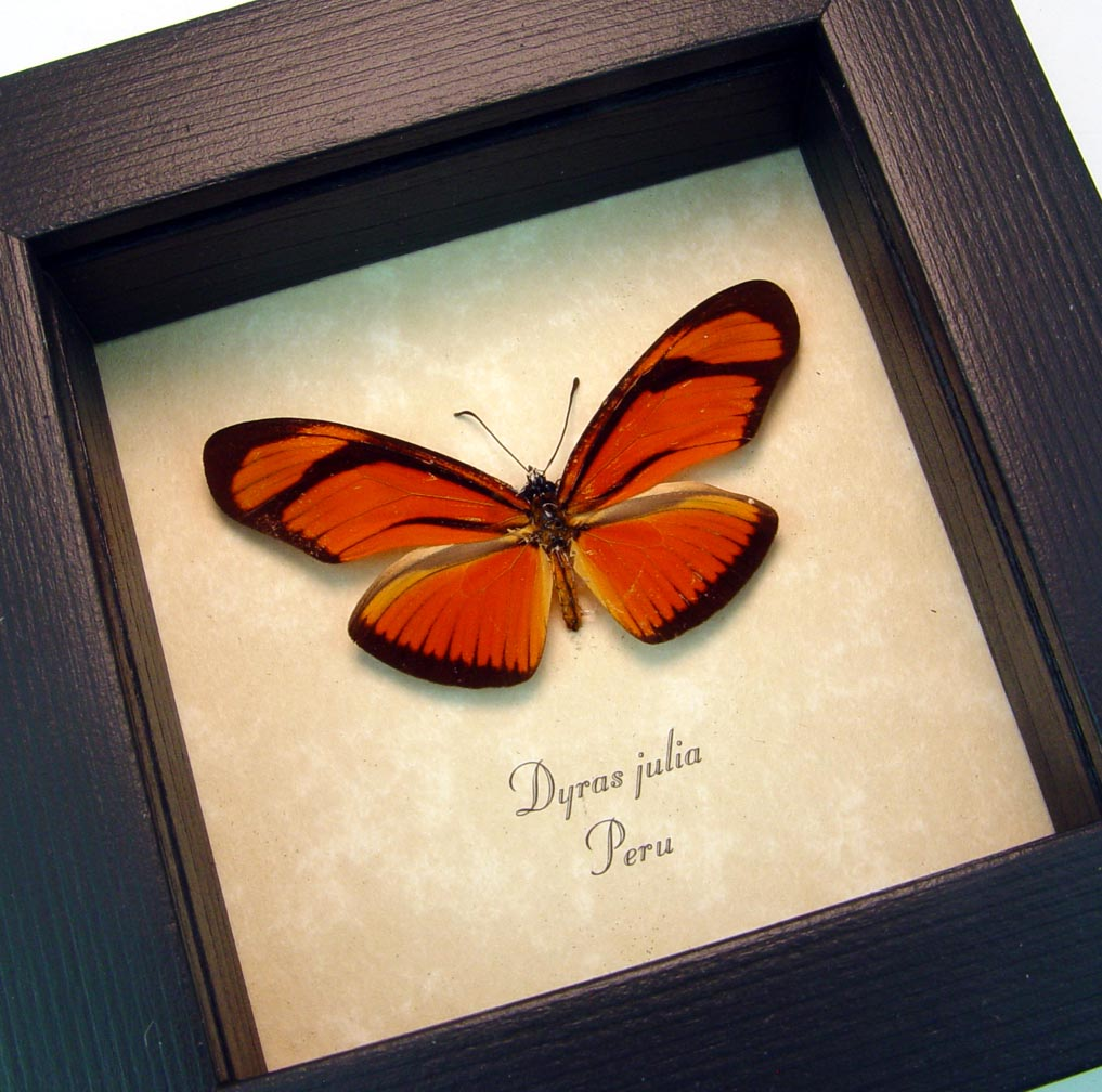 Framed Julia Butterfly Dryas julia ooak