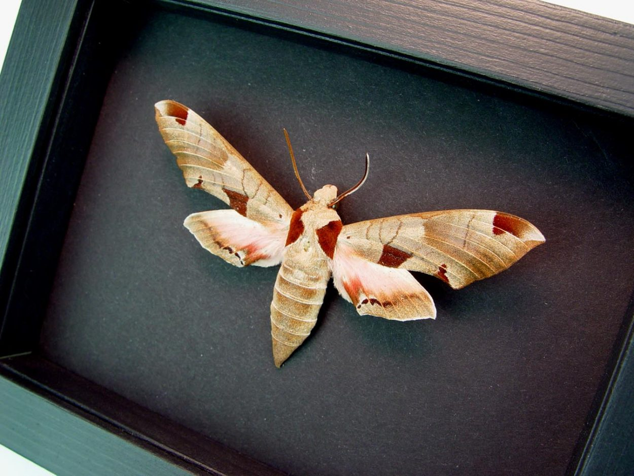 Eumorpha achemon Sphinx Moth Moonlight Display ooak