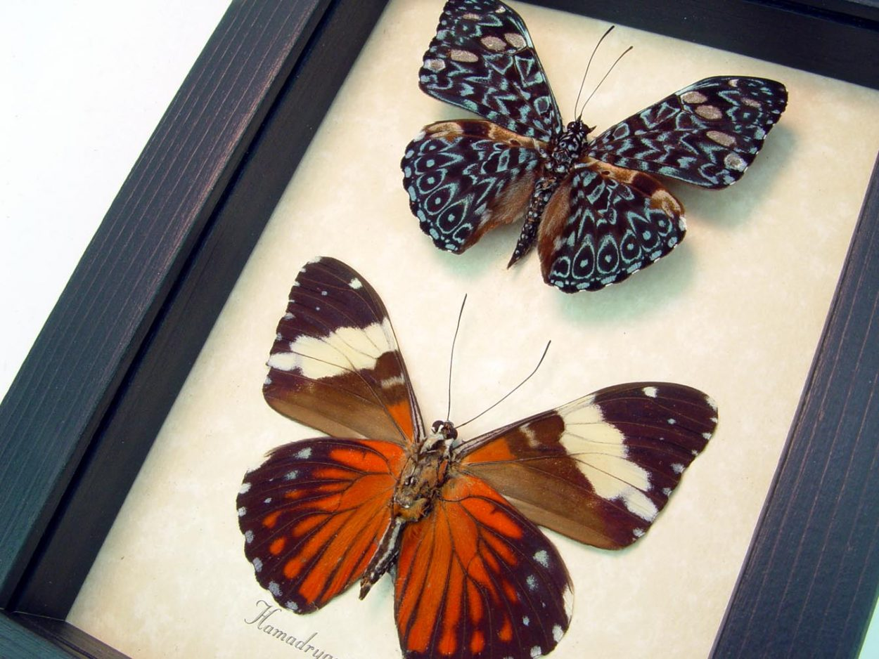 Hamadryas amphinome pair Red Crackers butterflies ooak