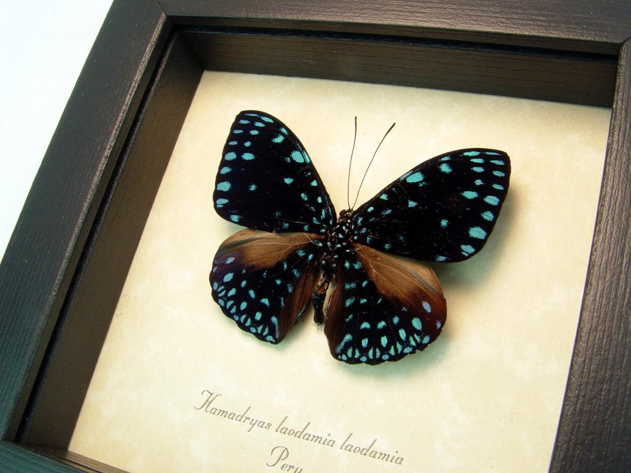 Hamadryas laodamia Starry Night Framed Butterfly ooak