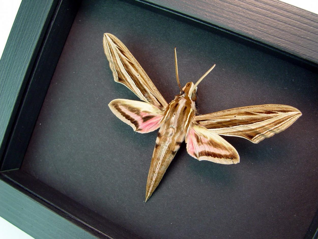 Hippotion osiris Pink African Moth Moonlight Display ooak